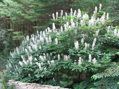 """Bottlebrush buckeye is noted for being one of the best summer-flowering shrubs for shade areas. It is a dense, mounded, suckering, deciduous, multi-stemmed shrub which typically grows 6-12' tall. Features palmate green leaves (5-7 leaflets) and erect, showy, cylindrical panicles (to 12"""" long) of tubular white flowers with conspicuous red anthers and pinkish filaments. Mid-summer bloom can be spectacular."""