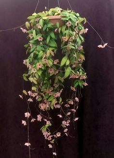 Hoya patella