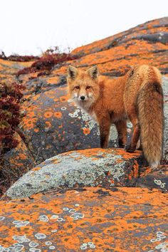 Signed and limited edition prints available by outdoor & wildlife photographer, Jason Savage. Featuring images of nature,wildlife, travel, and culture. Nature Animals, Animals And Pets, Baby Animals, Cute Animals, Wild Animals, Autumn Animals, Beautiful Creatures, Animals Beautiful, Fantastic Fox