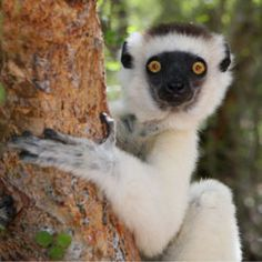 Madagascar is a country in the Indian Ocean off the eastern coast of Africa. Madagascar from Mapcarta, the free map. Farm Animals, Animals And Pets, Cute Animals, Primates, Mammals, Beautiful Creatures, Animals Beautiful, Madagascar Travel, Madagascar Country