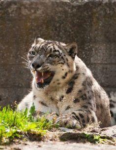 Snow leopard Crazy Cat Lady, Crazy Cats, Big Cats, Snow Pictures, Ghost Cat, Leopards, Snow Leopard, Tigers, Close Up