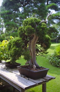 """Happo-en Bonsai This tree is alleged to be 500 years old and is found at the Happo-En Gardens/Restaurant in Tokyo, Japan. Happo-en"""" means """"a garden which is beautiful from all angles. I've always wanted a Bonsai tree. Bonsai Acer, Bonsai Plants, Bonsai Garden, Garden Plants, Indoor Plants, Bonsai Trees, Ikebana, Plantas Bonsai, Miniature Plants"""