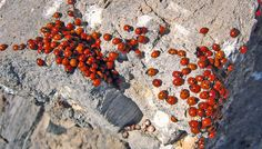 Best Time to See Ladybugs in California 2020 - When to See - Rove.me