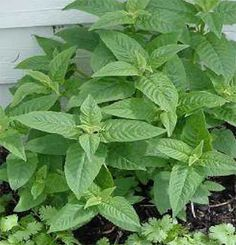 Bergamot. Used in spells and charms involving money, prosperity, protection, stopping outside interference, and promoting restful sleep.