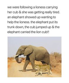 Elephants are the kindest creatures of the planet and this proves it don't you think? How wonderful that this elephant helped this lioness because own her own she was in great danger particularly as she was so tired. Animal Facts, Animal Memes, Cute Funny Animals, Funny Cute, Hilarious, Animals And Pets, Baby Animals, Tierischer Humor, Elephant Love