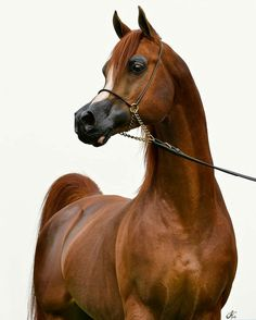 About the Alliance The Arabian Horse Breeders Alliance (AHBA) is a non-profit organization dedicated to promoting the Arabian horse. Beautiful Arabian Horses, Majestic Horse, Majestic Animals, Animals Beautiful, Arabic Horse, Arabian Stallions, Andalusian Horse, Friesian Horse, Arabian Beauty