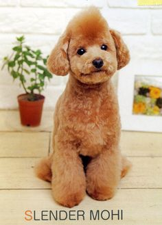 toy poodle asian style - Google Search