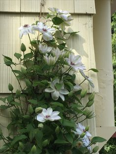 Clematis Miss Bateman. First to bloom in the spring-against the soft yellow of the cottage's south facing wall.