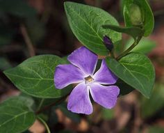 Vinca Major, Periwinkle is a fast-growing, competitive plant that forms dense mats of growth.  These plants crowd out native plants in shady and riparian areas in California.