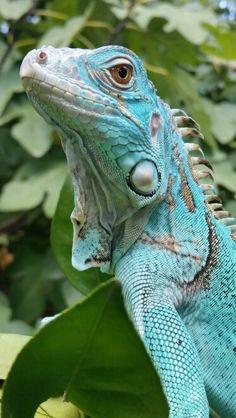 Leia - my gorgeous 1.5 year old axanthic iguana