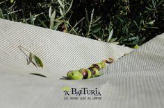 Baeturia olive harvest