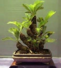 Bonsai Art, Bonsai Plants, Bonsai Garden, Bonsai Trees, Acer Palmatum, Container Plants, Container Gardening, Chinese Money Plant, Garden Stairs