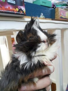 Punky laughing (guinea pig)