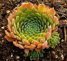 Photo of Hen and Chicks (Sempervivum 'Firepointe'). Photo Location: Pacific Northwest, Zone 8 on Sep 2009 . Caption: Photo courtesy of Cynda Foster, Growing Succulents, Succulents In Containers, Cacti And Succulents, Planting Succulents, Cactus Plants, Garden Plants, Sempervivum, Echeveria, Air Plants