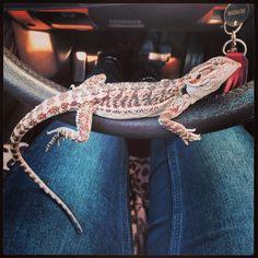 Baby bearded dragon can drive my car