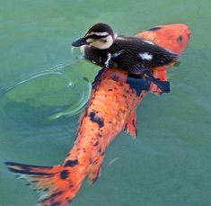 PetsLady's Pick: Funny Duck Pic Of The Day  ... see more at PetsLady.com ... The FUN site for Animal Lovers