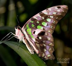 The Tailed Jay (Graphium agamemnon)
