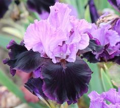 Photo of the bloom of Tall Bearded Iris (Iris 'Strut') Iris Flowers, Types Of Flowers, Real Flowers, Colorful Flowers, Purple Flowers, Spring Flowers, Planting Flowers, Beautiful Flowers, Iris Garden