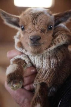 Cute Baby Goat Wearing Jumper