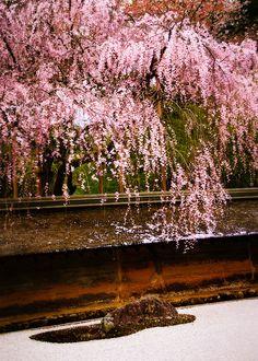 Cherry Blossoms - Zen Garden , Ryoan-ji Temple in Kyoto, Japan