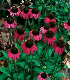"""Echinacea Raspberry Tart, 18-24"""", 'Raspberry Tart' has one of the deepest magenta flowers we've seen. The flowers are small and extremely numerous. All in all, it's a very showy plant. It's a compact plant with masses of the darkest Echinacea flowers you've ever seen. Lovely smaller flowers of deep, deep maroon. Blooms all summer. Use for the border and as cut flowers. Easy to grow. Fragrant."""