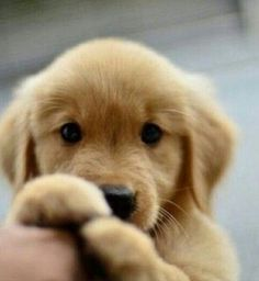 Little cute Golden Retriever puppy - Hunde - Puppies Animals And Pets, Baby Animals, Cute Animals, I Love Dogs, Cute Dogs, Really Cute Puppies, Funny Dogs, Retriever Puppy, Golden Retriever Puppies