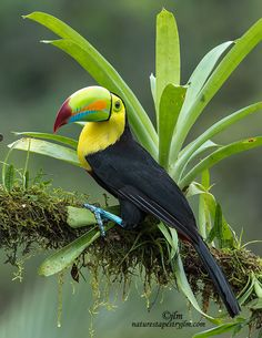 Фотография Keel Billed Toucan Sitting Prttey автор Judylynn Malloch на 500px