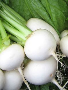 """White Egg Turnip (Sustainable Seed Co.)--Extremely fast growing. A long time favorite in the South for many years for its reliability and fine flavor. The roots are of course """"egg shaped"""", with white flesh that is fine grained and mild. Perfect for the backyard gardener or in bunches for the market grower."""