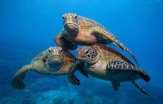 Stop the Legal Harvesting of Endangered Sea Turtles in Grenada Green Turtle, Turtle Love, Sea Turtle Pictures, Animals Beautiful, Cute Animals, Beautiful Creatures, Endangered Sea Turtles, Fauna Marina, Tortoise Turtle