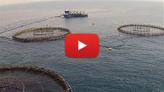 National #Aquaculture Group >>>>> #fishfarming #shrimpfarming #seafood #shrimp #fish #barramundi #vannamei