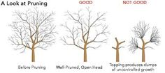 How to Prune a Mature Apple Tree - Tree Pruning Prune Fruit, Pruning Fruit Trees, Trees To Plant, How To Prune Trees, Apple Tree Pruning, Tree Planting, Deciduous Trees, Trees And Shrubs, Apple Tree Care