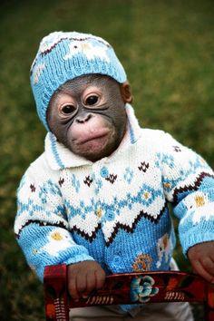 Orangutan baby in blue