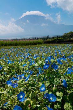 Heavenly Blue(Morning glory), Flower Park in Lake Yamanaka, Yamanashi, Japan