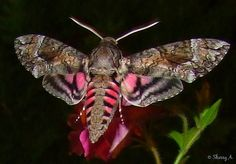 Pink Spotted Hawk Moth.