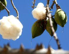 Les fibres de #kapok sur l'arbre appelé kapokier ou #fromager