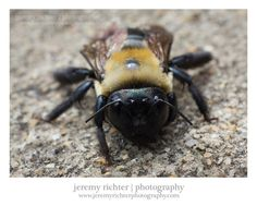 Macro Photograph of a Carpenter Bee in Fultondale, Alabama