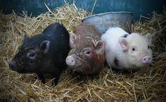 Miniature teacup pigs are not the tiny companion animals that they are sold as. They will grow into full-grown pigs. Pet Pigs, Baby Pigs, Cute Animal Photos, Animal Pictures, Animal Fun, Farm Animals, Cute Animals, Pot Belly Pigs, Mini Pigs