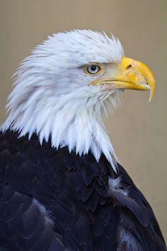 Fly Eagles Fly, Bald Eagles, Our National Bird, Eagle Bird, Black Eagle, Birds Of Prey, Bird Species, Prints, Photography