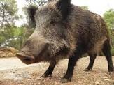 En la Ribera de Navarra, hay muchos jabalíes.