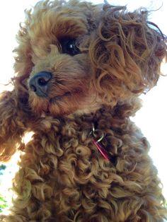 Teddy - miniature poodle
