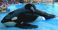 Tilikum during a show. In this pic, he is 13,000 lbs & 31 1/2 ft long. He is the largest orca/killer whale in captivity.