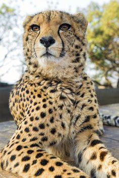 Resting cheetah - via Tambako The Jaguar