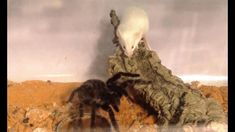 Tarantula (Acanthoscurria geniculata) is a species of tarantula from Brazil that is commonly kept as a pet. Huge Spiders, Wolf Spider, Small Snakes, The Burrow, Vertebrates, Wild Animals, Pets, Wild Ones, Animals And Pets
