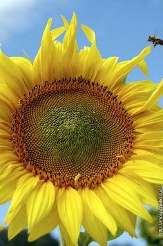Желтое и синее, и пчелиный звон...