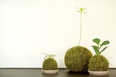 Making a kokedama with cat litter, tutorial by the talented Joy Ang
