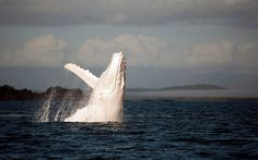 Migaloo, the white whale.