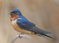 Of all the swallows, the Barn Swallow is my favorite sight though should I come across a Violet-green Swallow, I may change my mind. I think it's the long forked tail and the sort of dusty paprika colored belly that makes it number one for me. 5-9-12