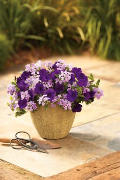 Container Gardening Two easy to grow varieties, gorgeous color that will delight all season long. We call this 'Simply Velvet'. Purple Flowers, Flower Pots, Plants, Plant Combinations, Beautiful Flowers, Petunias, Flower Planters, Flowers, Container Gardening Flowers