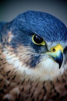 Birds of Prey Coloring! Rare Birds, Exotic Birds, Colorful Birds, Raptor Bird Of Prey, Birds Of Prey, Beautiful Birds, Animals Beautiful, Merlin Bird, Peregrine Falcon