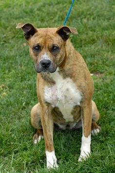 ***SUPER SUPER URGENT!!!*** - PLEASE SAVE NIKI!! - EU DATE: 7/5/2015 -- Niki 11 Breed:Pit Bull Terrier Age: Adult Gender: Female Shelter Information: Johnson City/Washington Co. Animal Shelter 525 Sells Ave  Johnson City, TN Shelter dog ID: D2015529 Contacts: Phone: 423-773-8510 Name: Hannah Greene email: jcanimalshelter@embarqmail.com  Read more at http://www.dogsindanger.com/dog/1428321637680#l8q69BXrpvwUcoWK.99